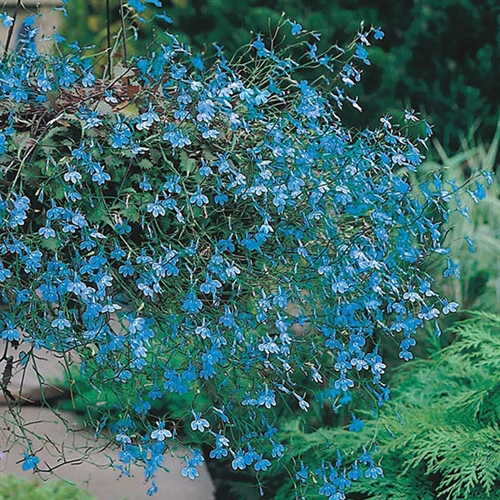 Rhs Lobelia Cascade Blue Seed Gardening For All